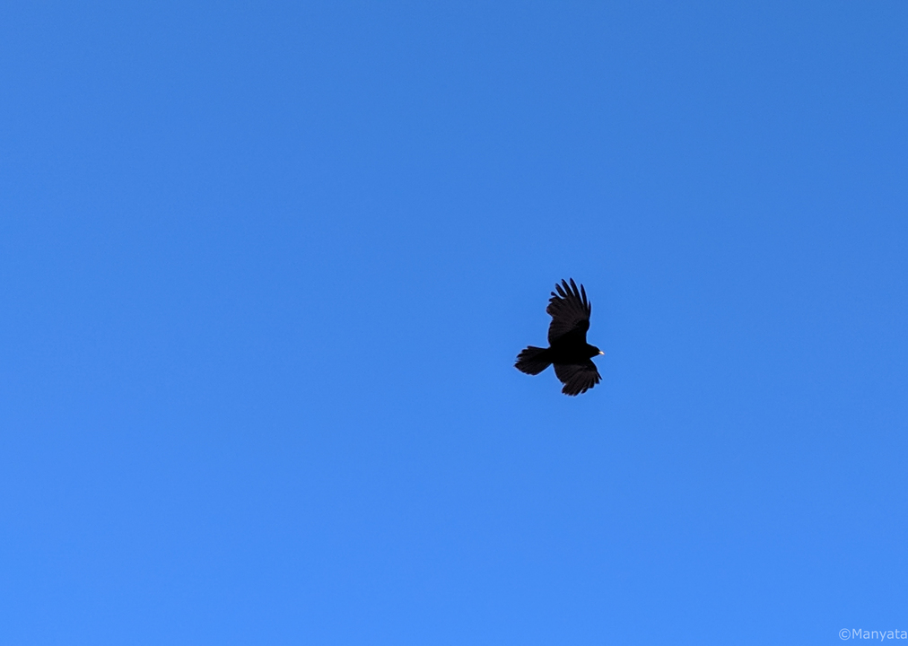 Yellow beaked crow takes flight in the dazzling bright blue skies one fine morning in Demul!